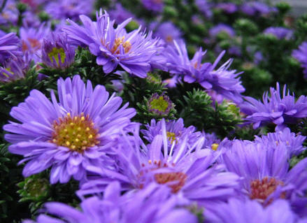 polish asters