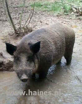 wild hog taking a drink in a forest pool
