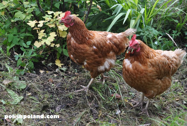 polish chickens
